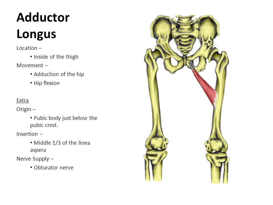 Adductor Longus Location – Inside of the thigh Movement –