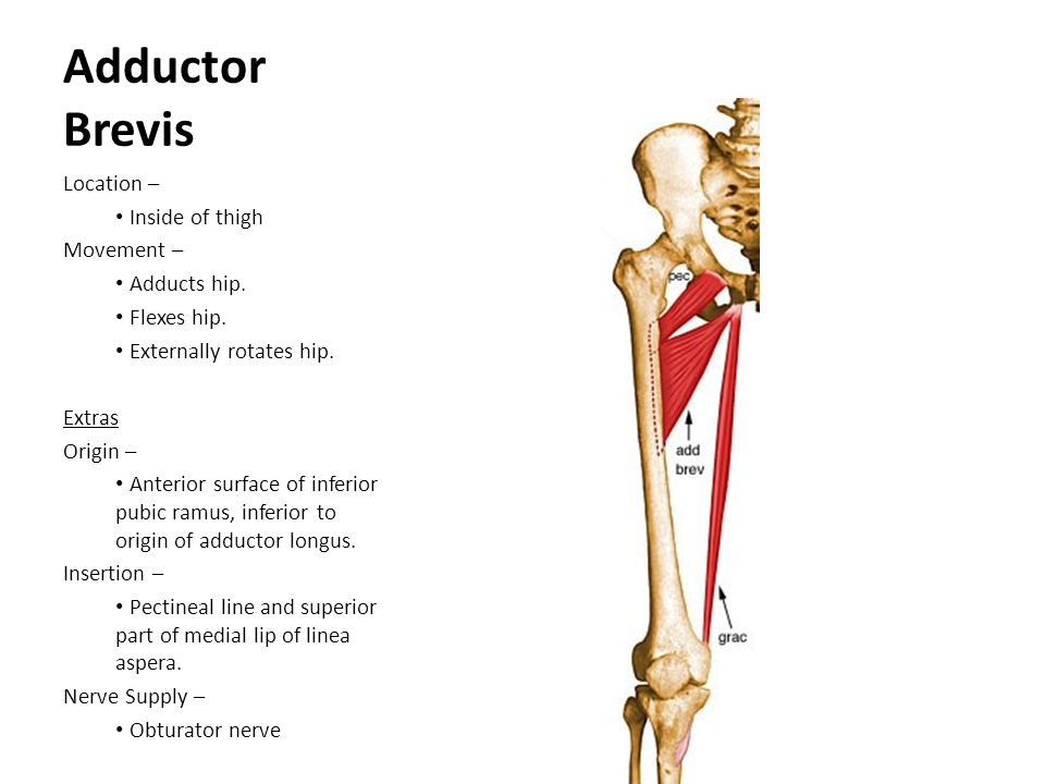 Adductor Brevis Location – Inside of thigh Movement – Adducts hip.