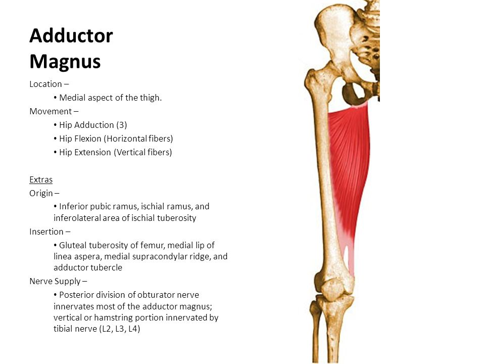 Adductor Magnus Location – Medial aspect of the thigh. Movement –
