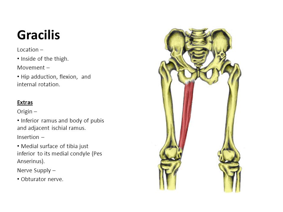 Gracilis Location – Inside of the thigh. Movement –