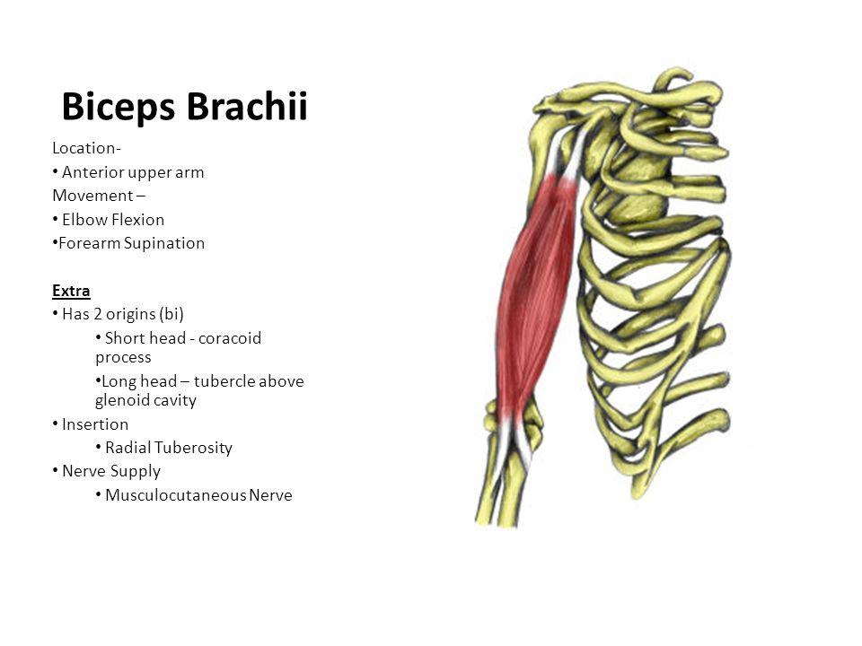 Biceps Brachii Location- Anterior upper arm Movement – Elbow Flexion