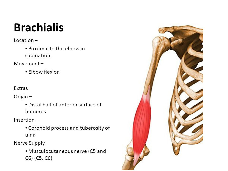 Brachialis Location – Proximal to the elbow in supination. Movement –