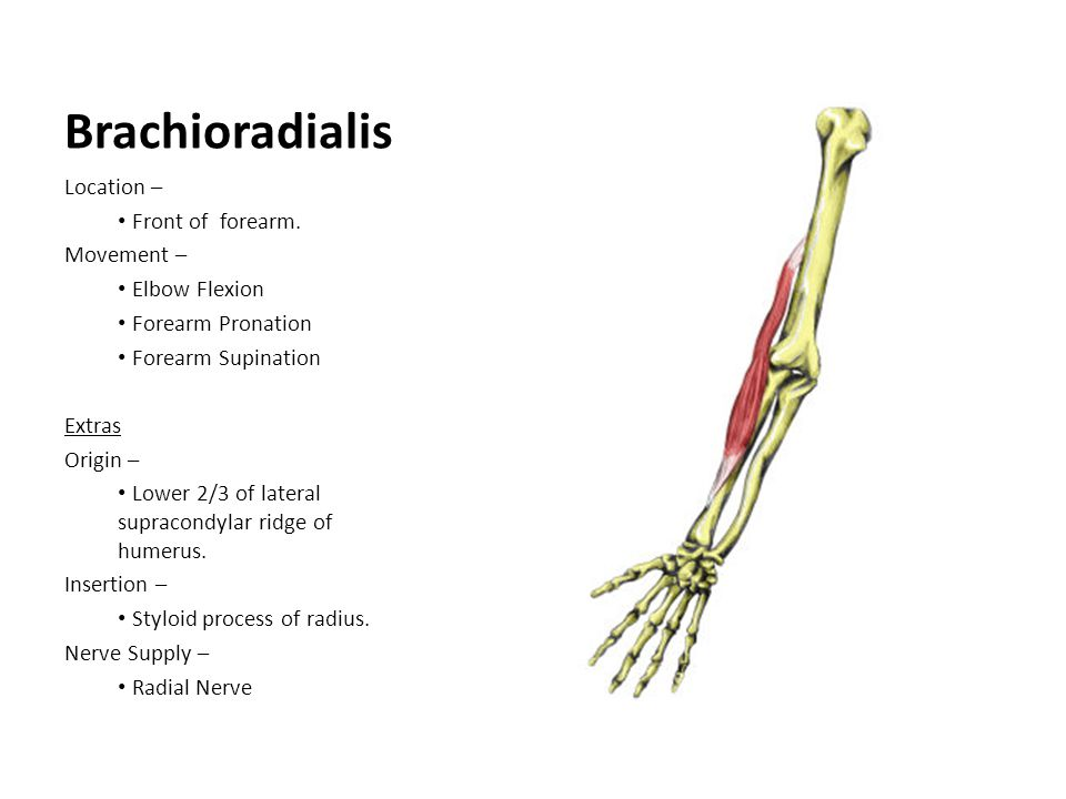 Brachioradialis Location – Front of forearm. Movement – Elbow Flexion