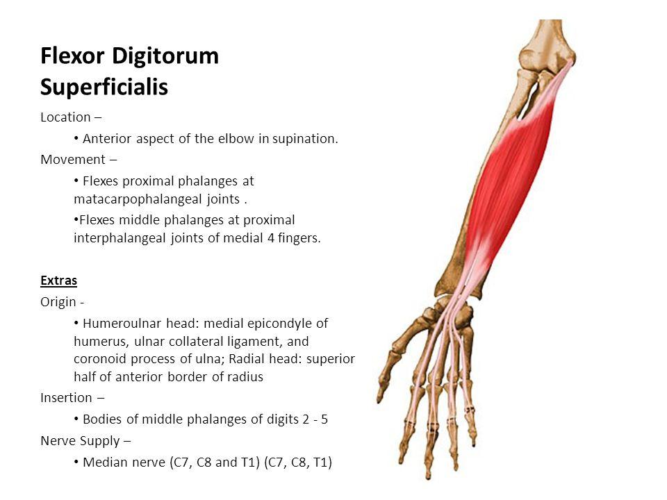 Flexor Digitorum Superficialis