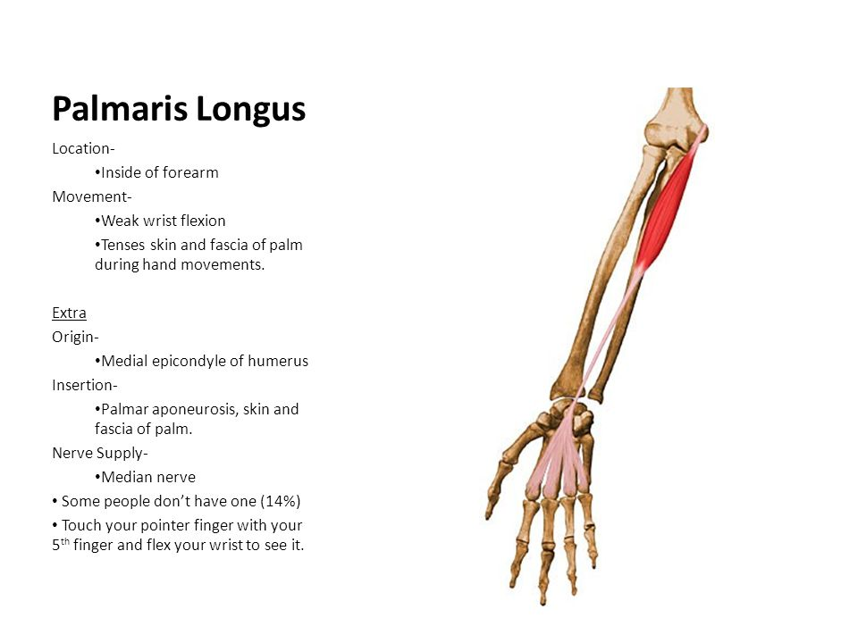 Palmaris Longus Location- Inside of forearm Movement-