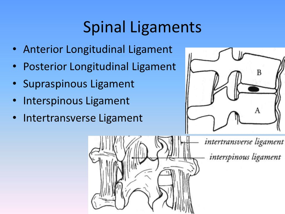 Spinal Ligaments Anterior Longitudinal Ligament