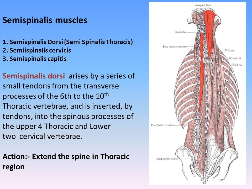 Semispinalis muscles 1. Semispinalis Dorsi (Semi Spinalis Thoracis) 2. Semiispinalis cervicis. 3. Semispinalis capitis.