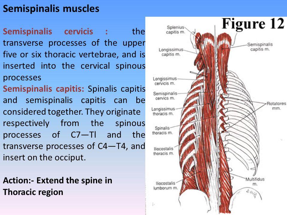 Semispinalis muscles
