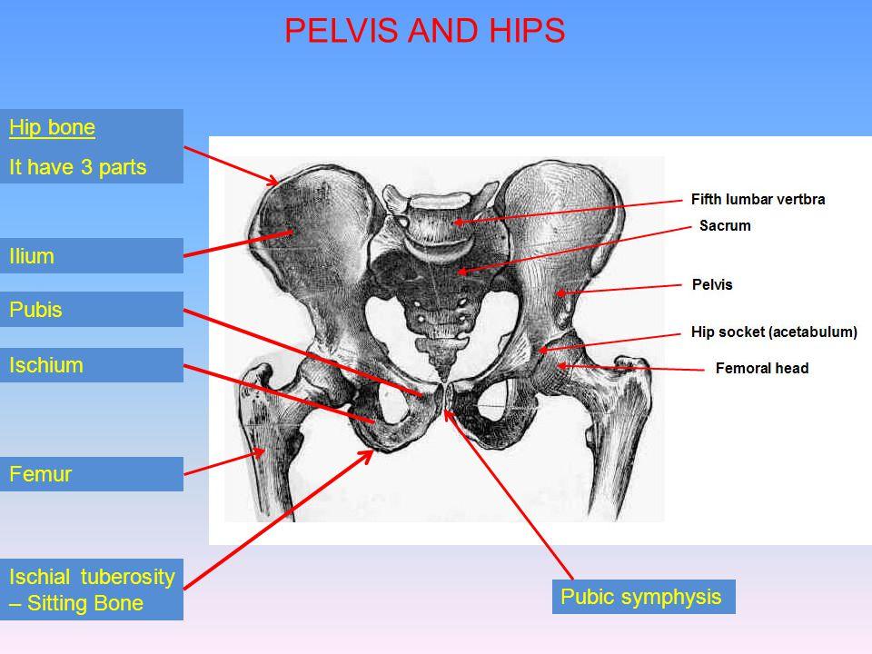 PELVIS AND HIPS Hip bone It have 3 parts Ilium HFGFGF Pubis Ischium