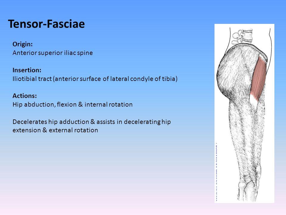 Tensor-Fasciae Origin: Anterior superior iliac spine Insertion: