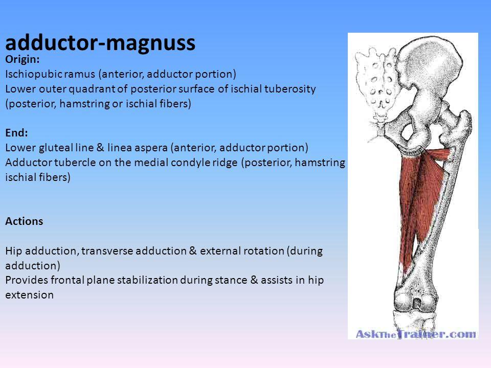 adductor-magnuss Origin: