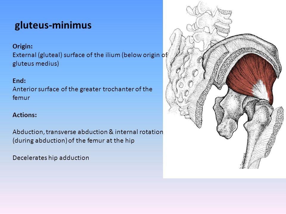 gluteus-minimus Origin: