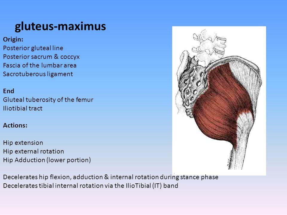 gluteus-maximus Origin: Posterior gluteal line