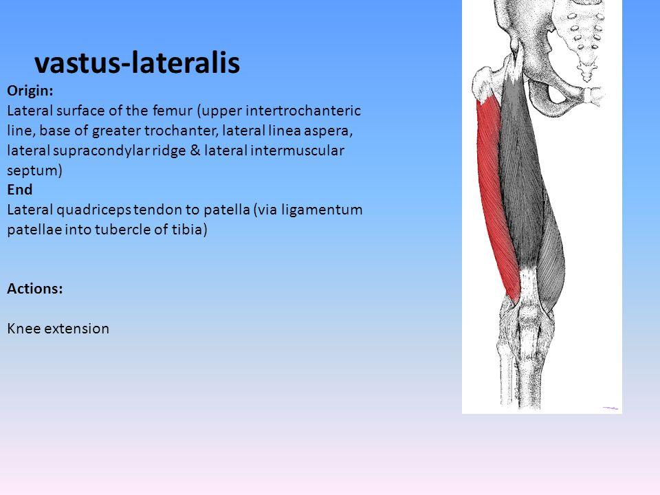 vastus-lateralis Origin: