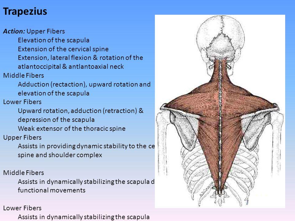 Trapezius Action: Upper Fibers Elevation of the scapula