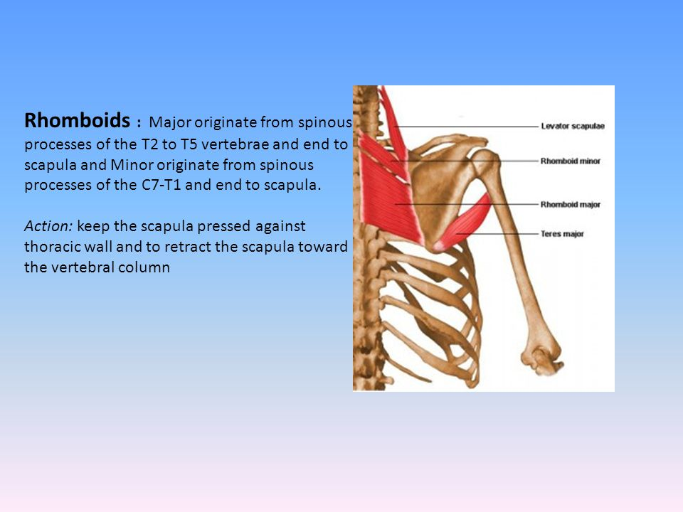 Rhomboids : Major originate from spinous processes of the T2 to T5 vertebrae and end to scapula and Minor originate from spinous processes of the C7-T1 and end to scapula.