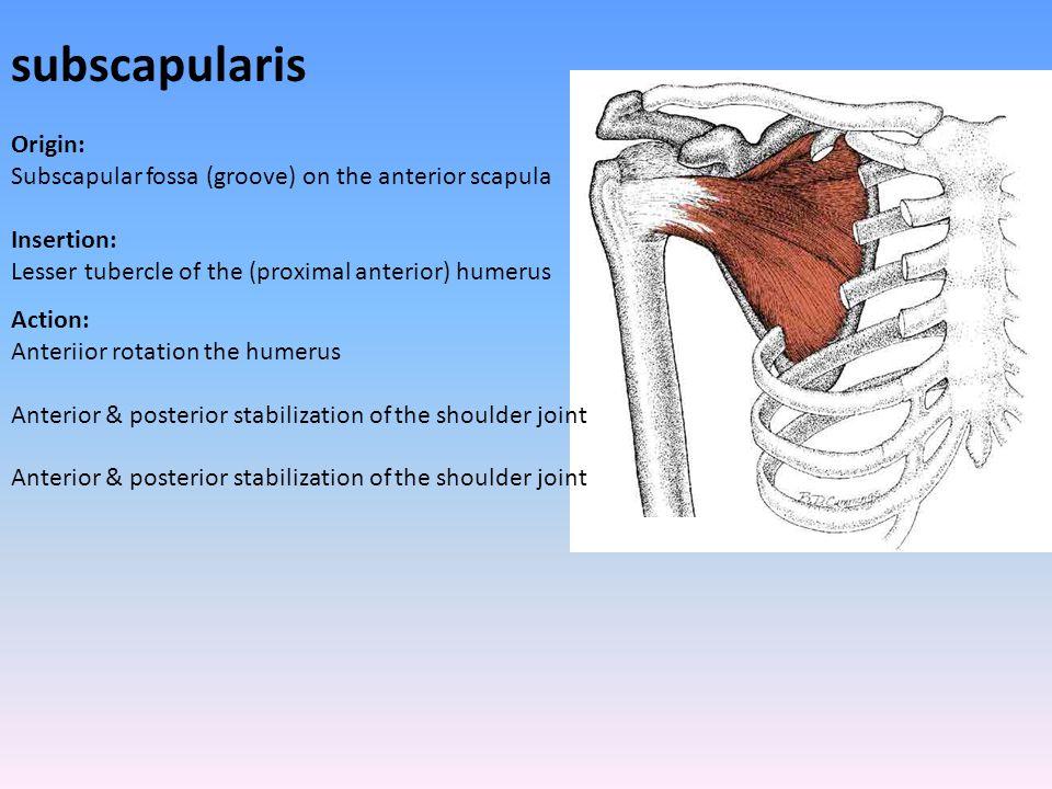subscapularis Origin: