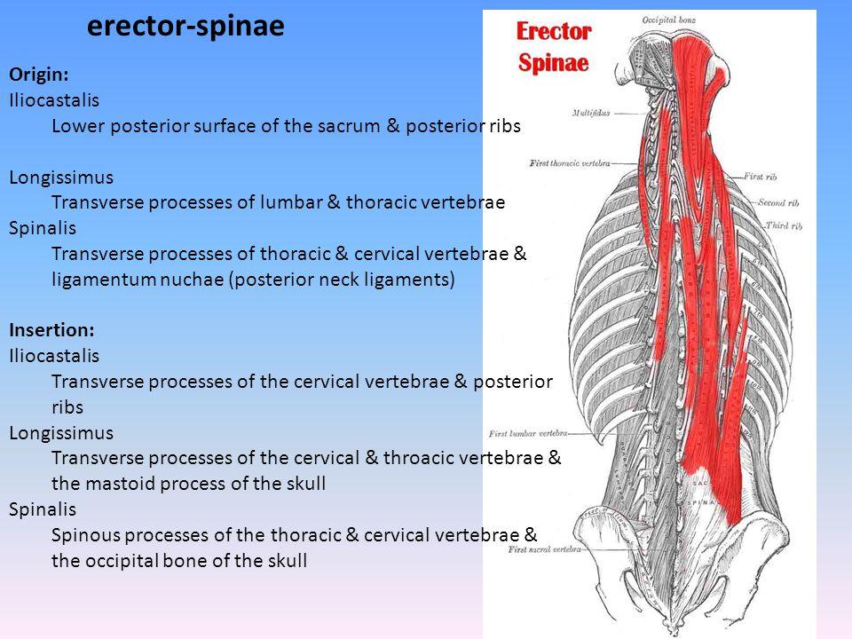 erector-spinae Origin: Iliocastalis