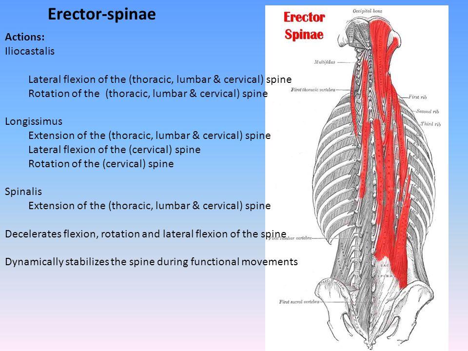Erector-spinae Actions: Iliocastalis
