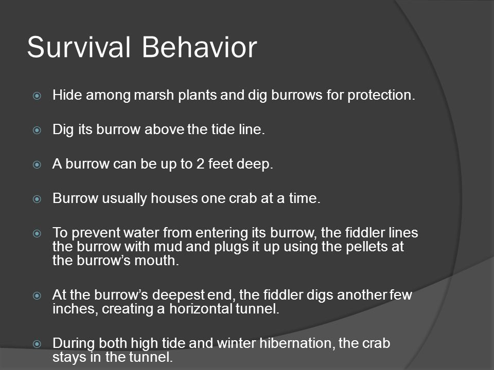 Survival Behavior Hide among marsh plants and dig burrows for protection. Dig its burrow above the tide line.