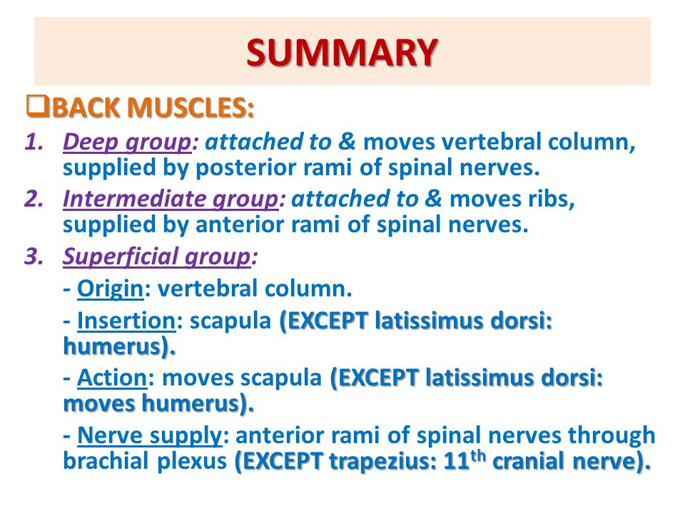 SUMMARY BACK MUSCLES: Deep group: attached to & moves vertebral column, supplied by posterior rami of spinal nerves.