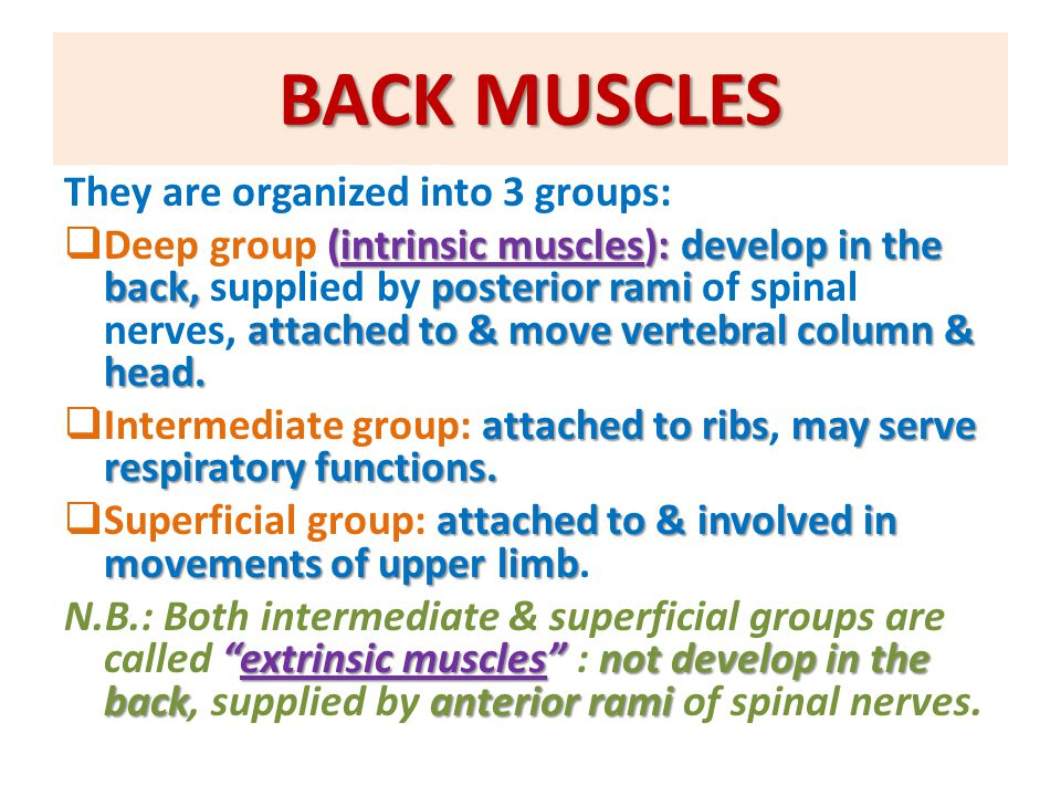 BACK MUSCLES They are organized into 3 groups: