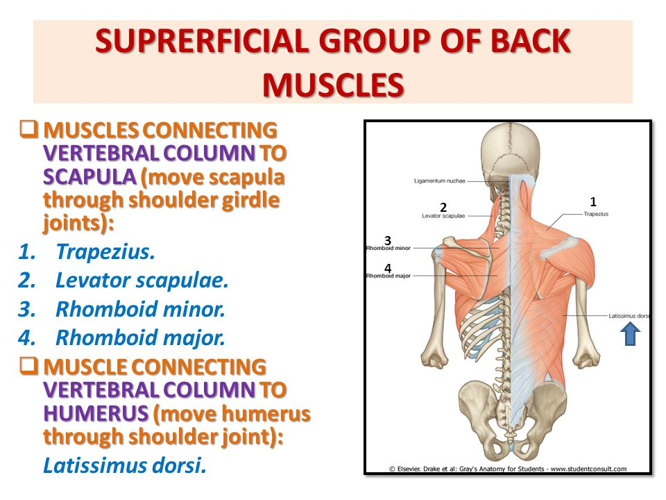 SUPRERFICIAL GROUP OF BACK MUSCLES