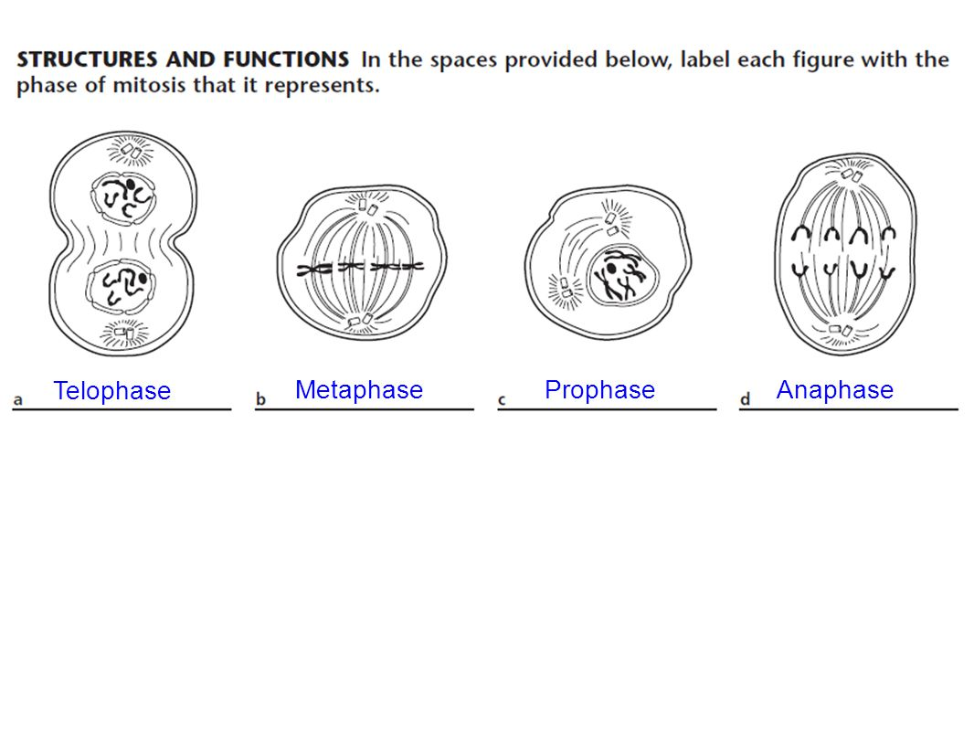 telophase is a phase of mitosis ppt video online download