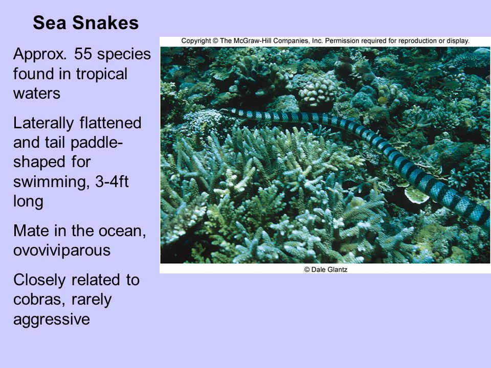 Sea Snakes Approx. 55 species found in tropical waters