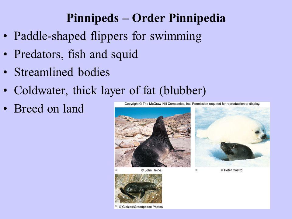 Pinnipeds – Order Pinnipedia