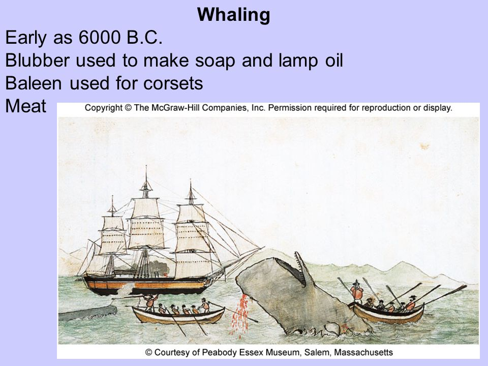 Whaling Early as 6000 B.C. Blubber used to make soap and lamp oil Baleen used for corsets Meat