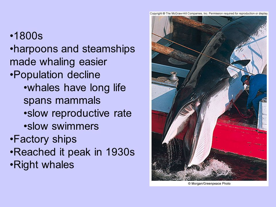 1800s harpoons and steamships made whaling easier. Population decline. whales have long life spans mammals.