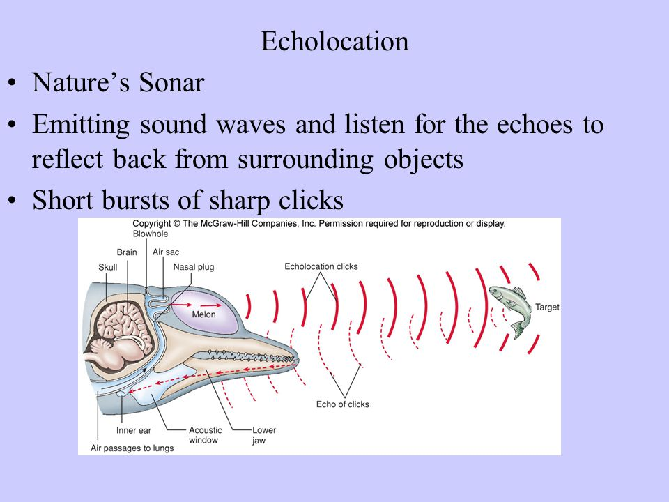 Echolocation Nature's Sonar. Emitting sound waves and listen for the echoes to reflect back from surrounding objects.
