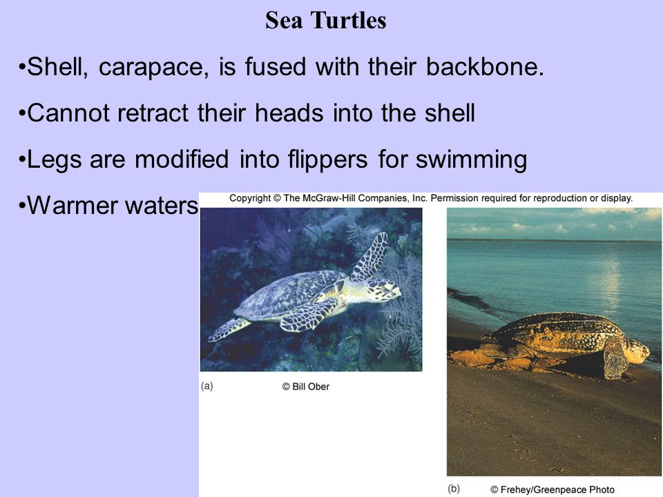 Sea Turtles Shell, carapace, is fused with their backbone. Cannot retract their heads into the shell.
