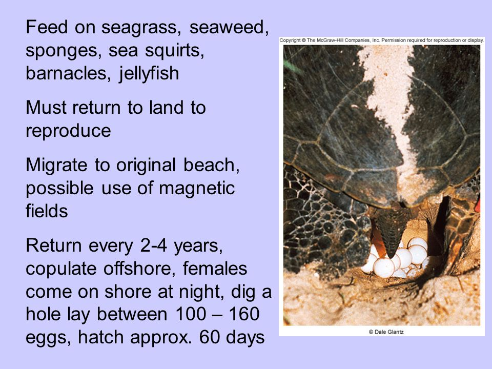 Feed on seagrass, seaweed, sponges, sea squirts, barnacles, jellyfish