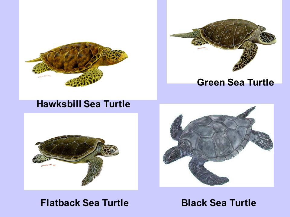 Green Sea Turtle Hawksbill Sea Turtle Flatback Sea Turtle Black Sea Turtle