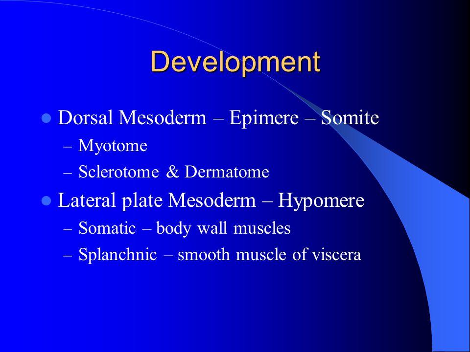 Development Dorsal Mesoderm – Epimere – Somite