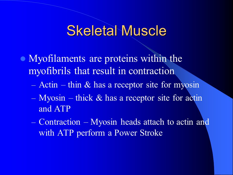 Skeletal Muscle Myofilaments are proteins within the myofibrils that result in contraction. Actin – thin & has a receptor site for myosin.