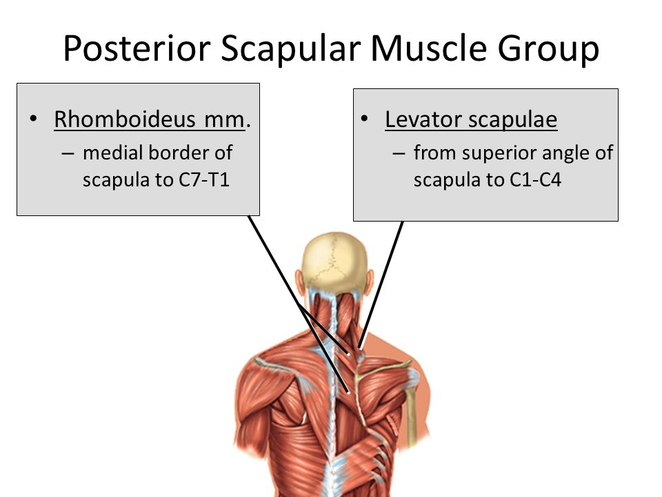 Posterior Scapular Muscle Group