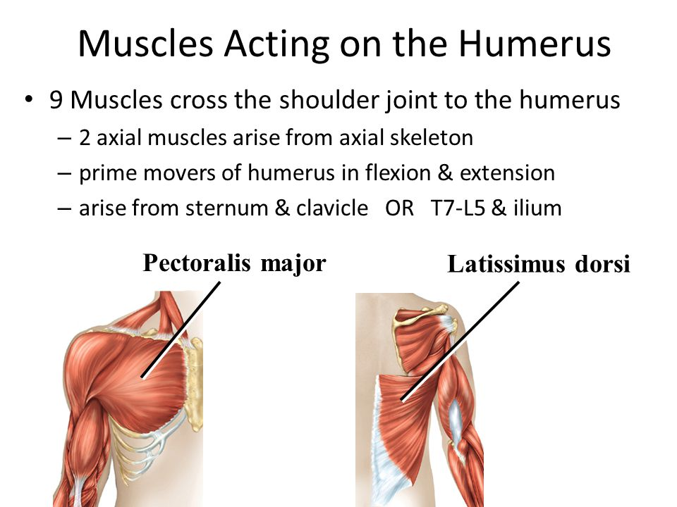 Muscles Acting on the Humerus