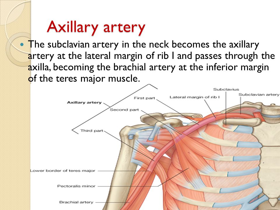 Axillary artery