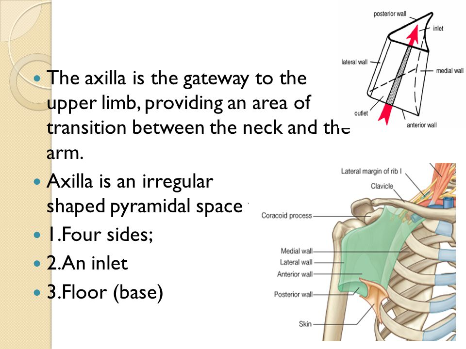 The axilla is the gateway to the upper limb, providing an area of transition between the neck and the arm.