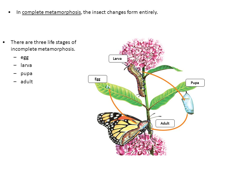 In complete metamorphosis, the insect changes form entirely.