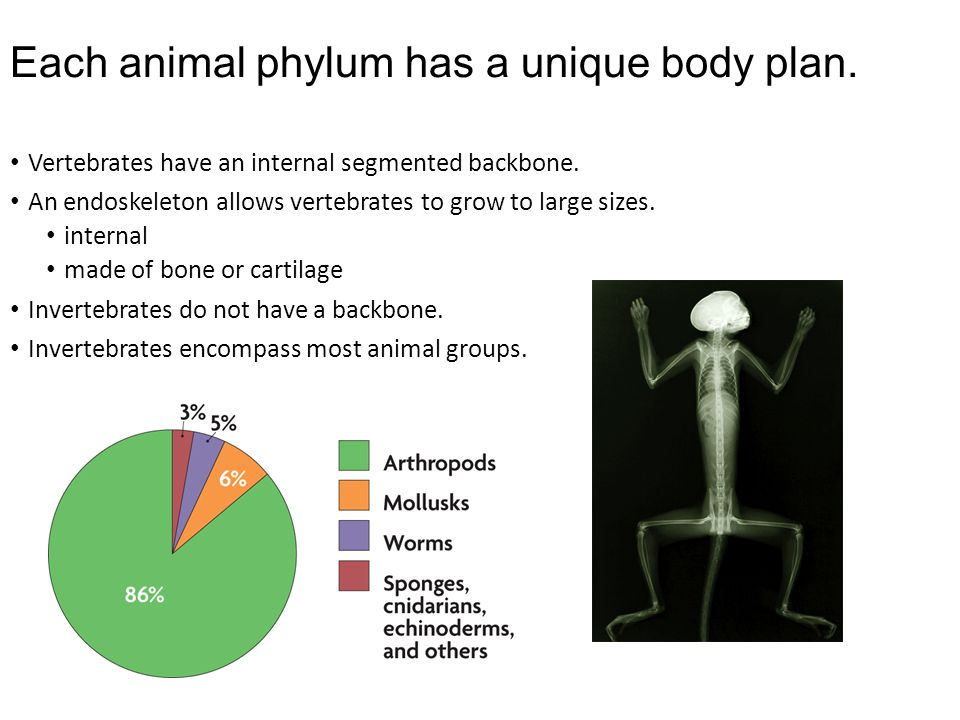 Each animal phylum has a unique body plan.