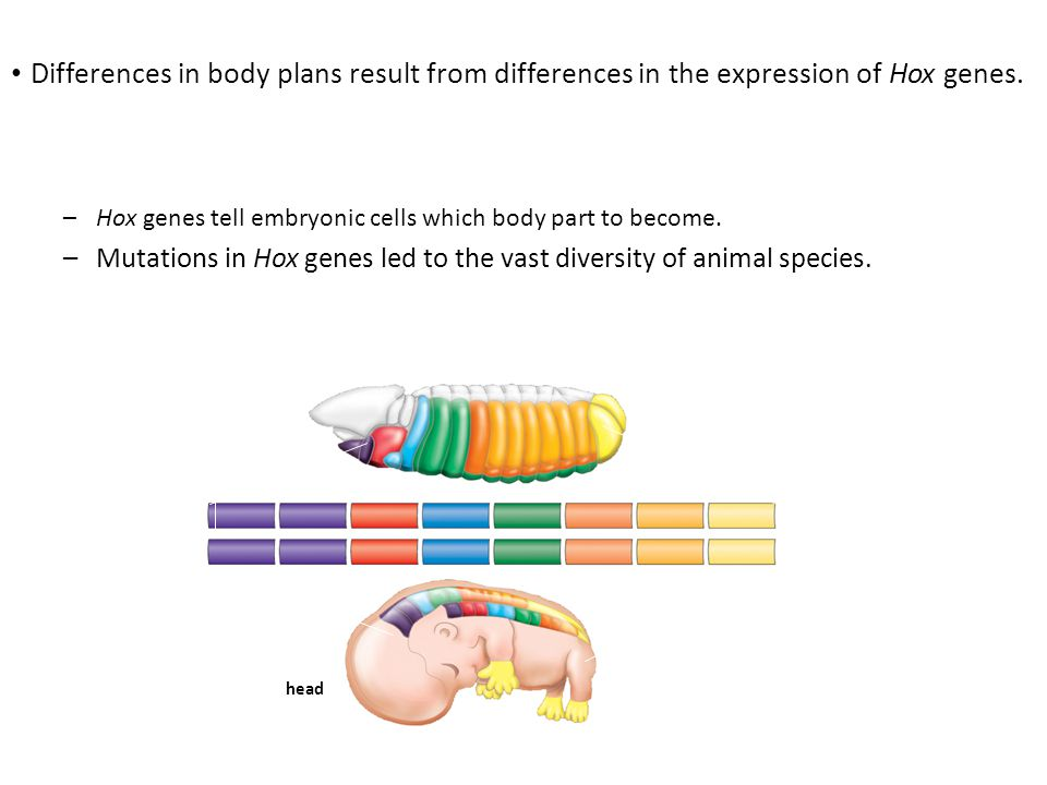 Differences in body plans result from differences in the expression of Hox genes.
