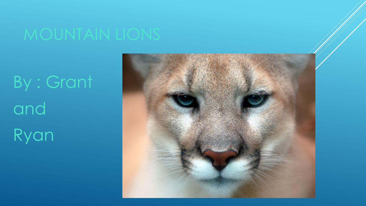 Mountain Lions By : Grant and Ryan