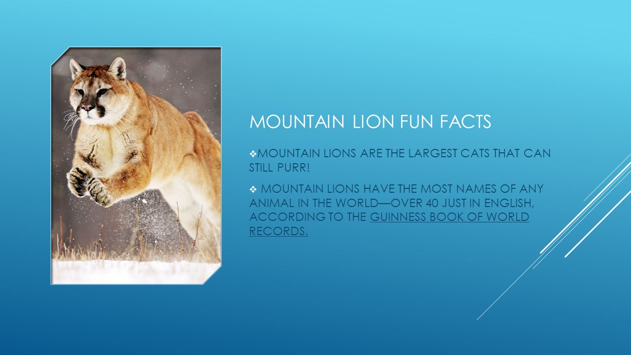 MOUNTAIN LION FUN FACTS