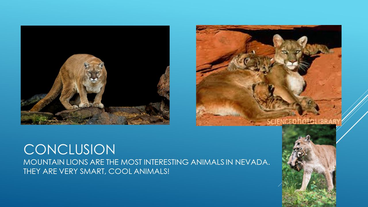 CONCLUSION Mountain lions are the most interesting animals in neVADA