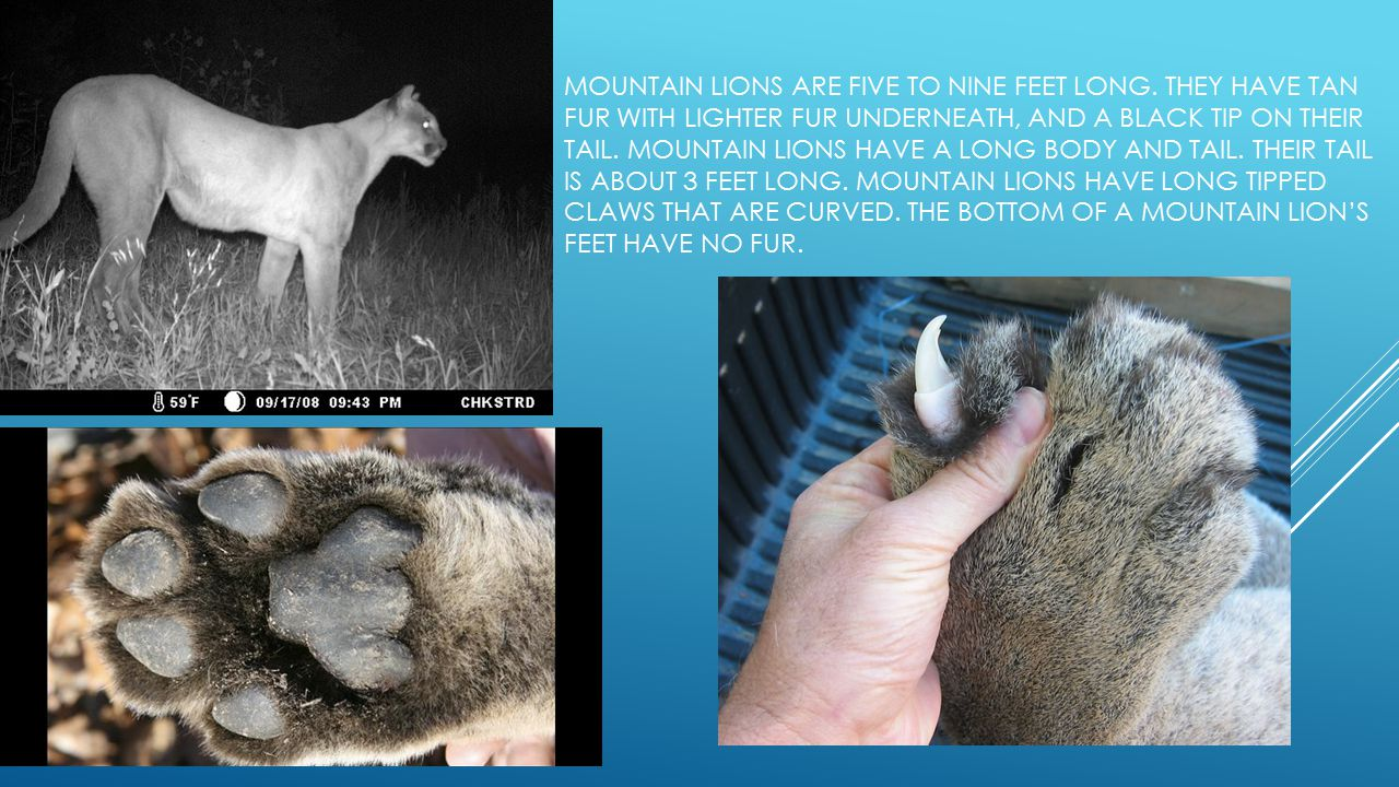 physical description MOUNTAIN LIONS ARE FIVE TO NINE FEET LONG