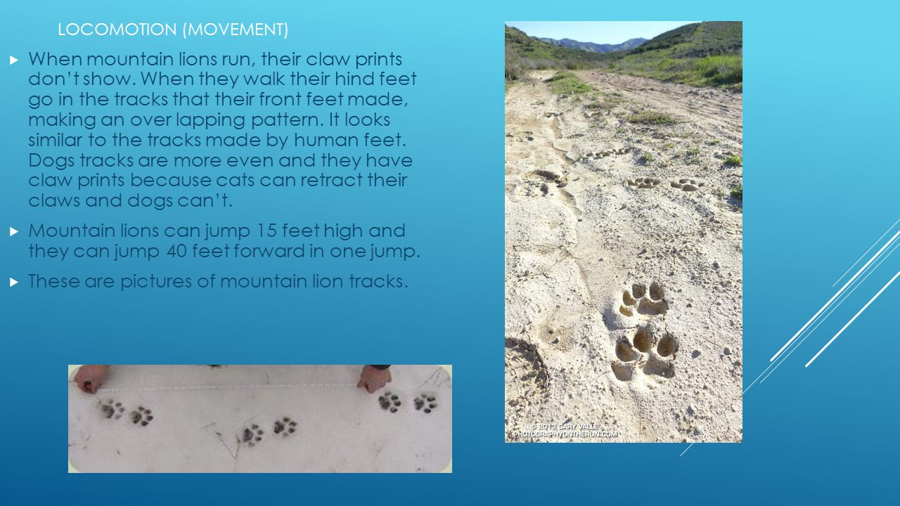These are pictures of mountain lion tracks.